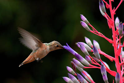 Allen's Hummingbird At Breakfast Print by Mike Herdering