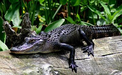 Alligator On Log Print by Lisa Scott