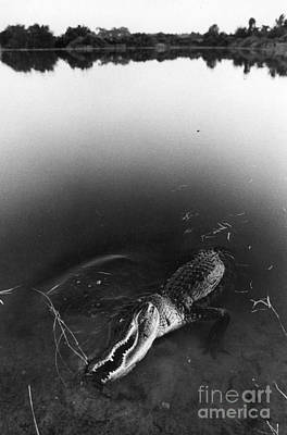 Alligator1 Print by Jim Wright