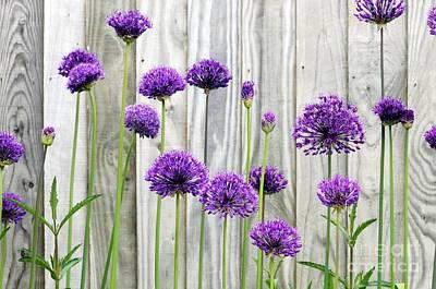 Allium Purple Sensation Print by Anthony Cooper