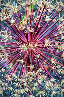 Allium Stars Print by Tim Gainey