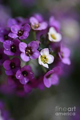 Photograph - Allysium Flowers by Joy Watson