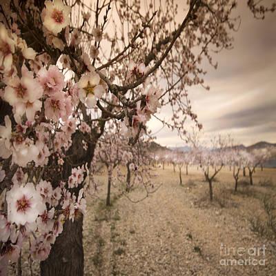Spanish Landscape Photograph - Almond Blossom by Angel  Tarantella