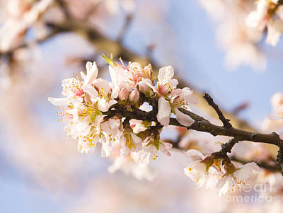 Almond Photograph - Almond Flowers by Irina Afonskaya