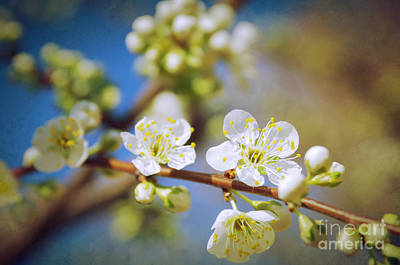 Almond Photograph - Almond Tree Branch by Carlos Caetano