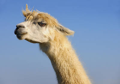 Photograph - Alpaca by Skip Hunt