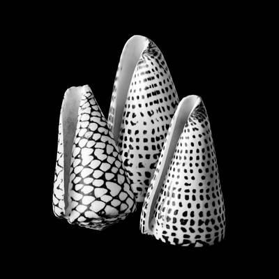 Cones Photograph - Alphabet Cone Shells Conus Spurius by Jim Hughes