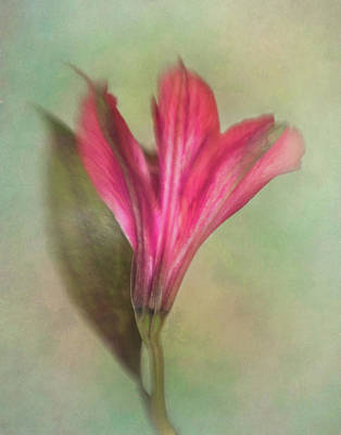 Lily Of The Incas Photograph - Alstroemeria The Miniature Lily by David and Carol Kelly