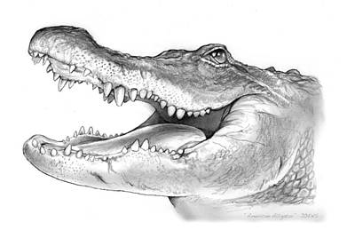 Reptiles Drawing - American Alligator by Greg Joens