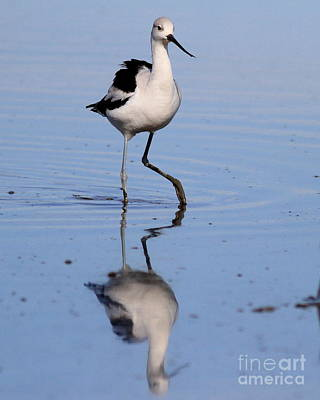 Bif Photograph - American Avocet . 7d4844 by Wingsdomain Art and Photography