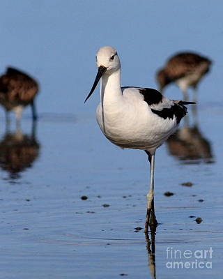 Bif Photograph - American Avocet . 7d4869 by Wingsdomain Art and Photography