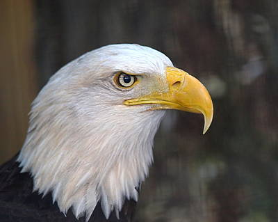 American Bald Eagle Print by Peter Gray