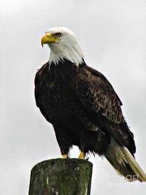 Stupendous Photograph - American  Bird by Robert Bales
