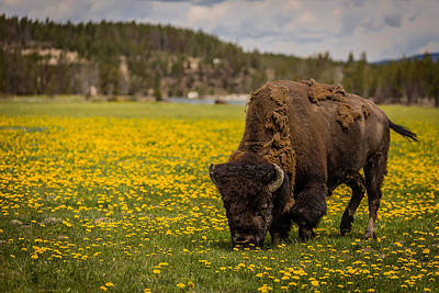 Habitat Photograph - American Bison by Gary Migues