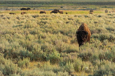Bison Photograph - American Bison by Sebastian Musial