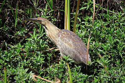 Wildlife Photograph - American Bittern In The Winter Swamp by Louise Heusinkveld