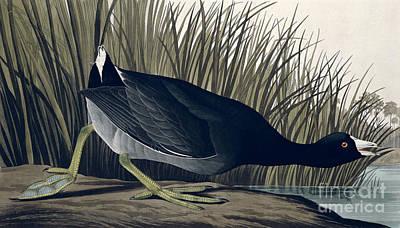 1835 Painting - American Coot by John James Audubon