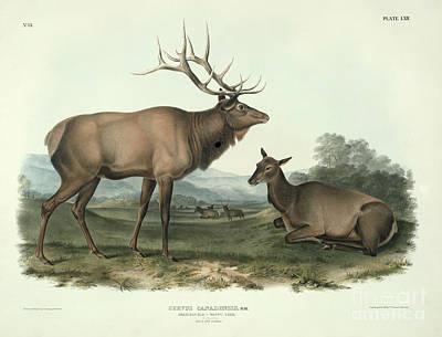 Calf Painting - American Elk by John James Audubon