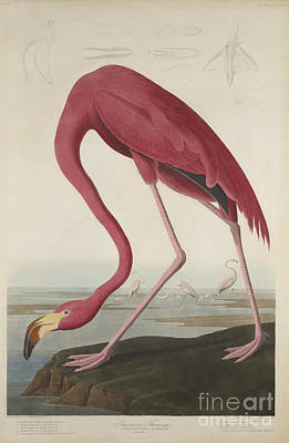 Poster Painting - American Flamingo by MotionAge Designs