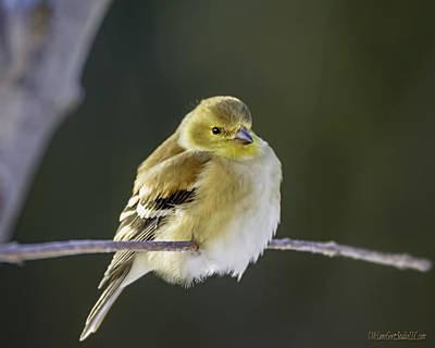 Nature Photograph - American Gold Finch by LeeAnn McLaneGoetz McLaneGoetzStudioLLCcom