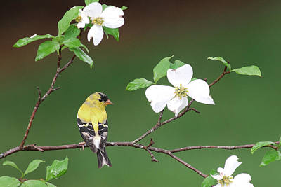American Goldfinch In Dogwood Original by Alan Lenk