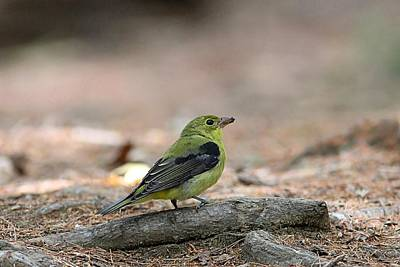 American Goldfinch In The Forest Print by Linda Crockett