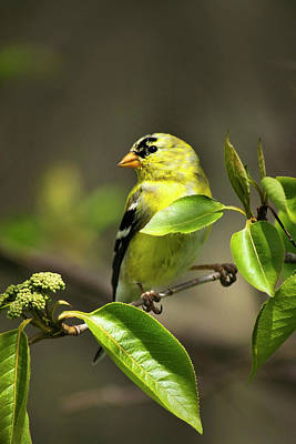Bird Photograph - American Goldfinch On Branch by Christina Rollo