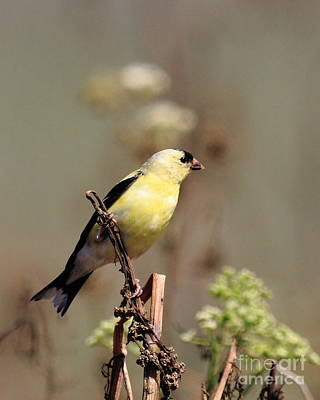 American Goldfinch Perched Print by Wingsdomain Art and Photography