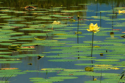 Tallahassee Photograph - American Lotus by Rich Leighton