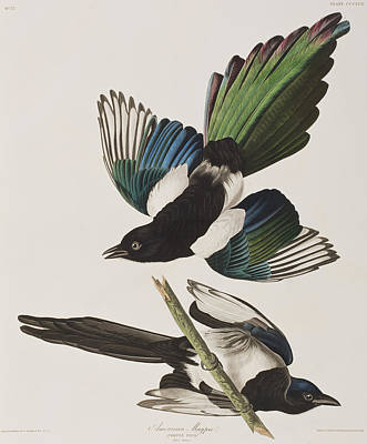 Magpies Drawing - American Magpie by John James Audubon
