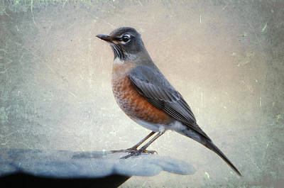 American Robin In Winter Original by Bonnie Barry
