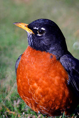 American Robin Photograph - American Robin by Karol Livote