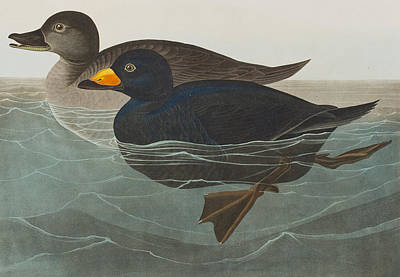 Duck Drawing - American Scoter Duck by John James Audubon