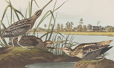 Reeds Drawing - American Snipe  by John James Audubon