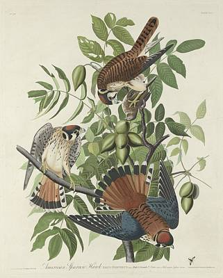 Chirp Drawing - American Sparrow Hawk by John James Audubon
