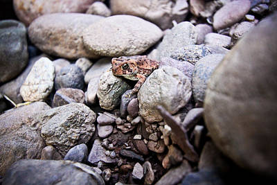 American Toad Print by Ryan Kelly