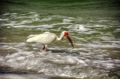 Ibis Photograph - American White Ibis by Chrystal Mimbs