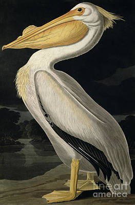 White Painting - American White Pelican by John James Audubon