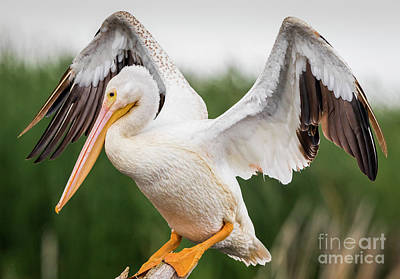 Wildlife Photograph - American White Pelican Perched by Ricky L Jones