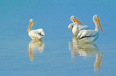 Photograph - American White Pelicans #2 by Patty MacInnis