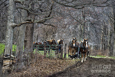 Amish Photograph - Amish Horses In Harness by David Arment