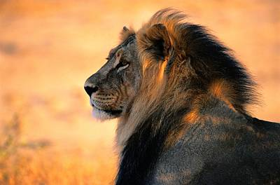 An Adult Male African Lion, Panthera Print by Nicole Duplaix
