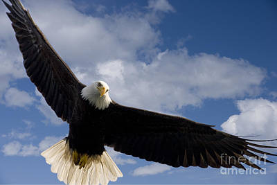 An Eagles Wingspan Print by John Hyde - Printscapes