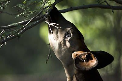 An Okapi Reaches For A Little Snack Print by Joel Sartore
