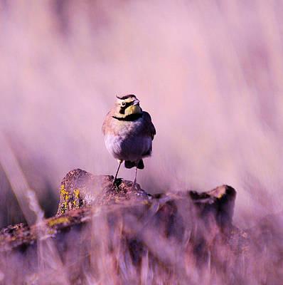 Meadowlark Photograph - An Searching Gaze  by Jeff Swan