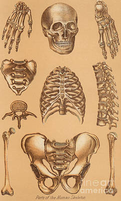 Cage Drawing - Anatomical Study Of The Human Skeleton, 1896 by American School