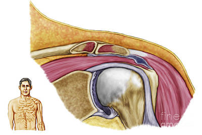 Human Joint Digital Art - Anatomy Of Left Shoulder, Coronal View by Stocktrek Images