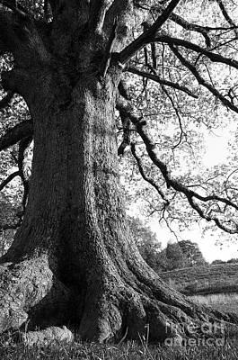 Ancient Oak Print by Thomas R Fletcher