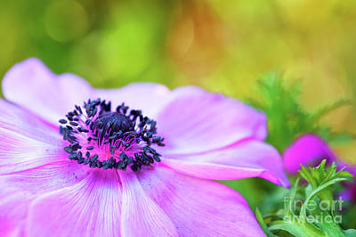 Windflower Photograph - Anemone Pink by Tim Gainey