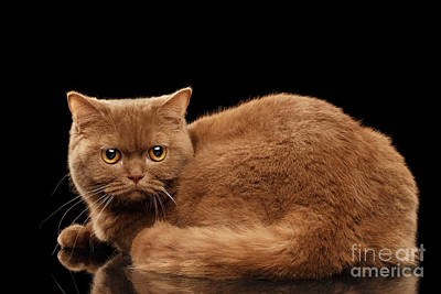 Angry Cinnamon Color British Cat On Black Print by Sergey Taran